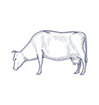 cow vintage engraved isolated vector image