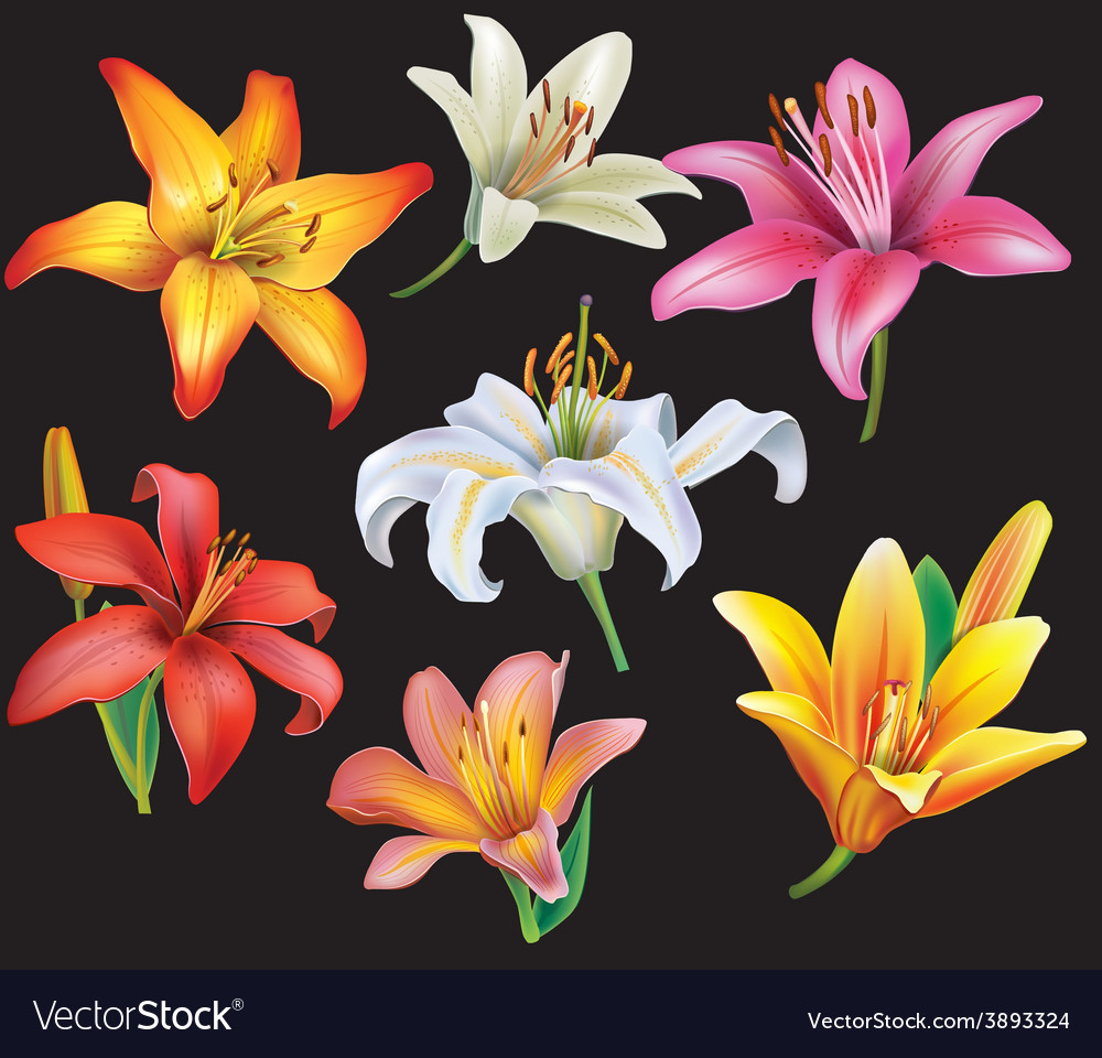 Set of lilies heads on black background vector