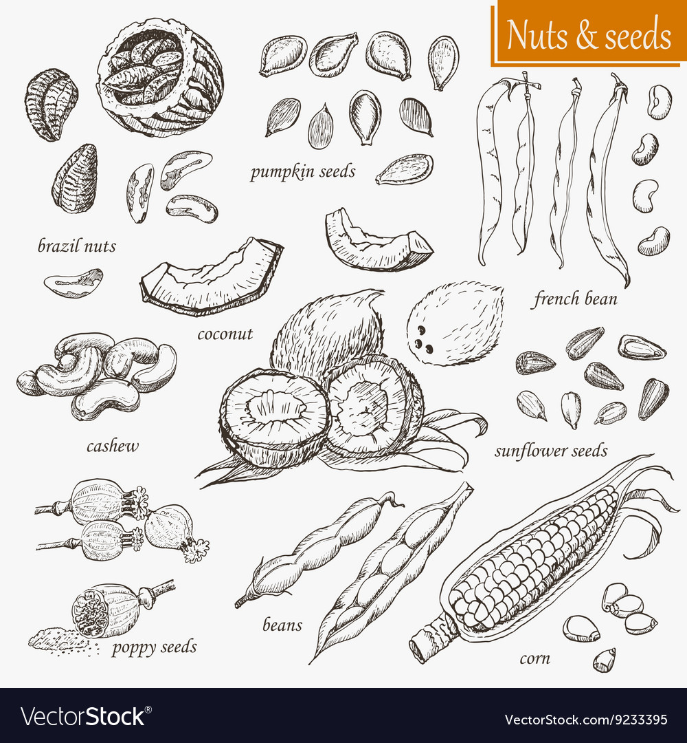Collection of isolated nuts and seeds vector