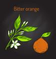 bitter orange branch vector image