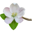 White Apple flower vector image