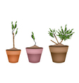 Yucca Tree and Dracaena Plant in Ceramic Pots vector image