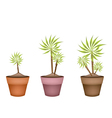 Three Yucca Tree and Dracaena Plant in Ceramic Pot vector image
