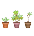 Three Dieffenbachia Picta Marianne Plant in Pot vector image