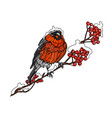 bullfinch on the branch of mountain ash vector image