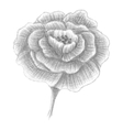 Hand drawn portulaca blossomed flower vector image