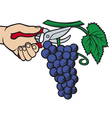 man hands harvesting grapes vector image