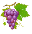 purple grape vector image vector image