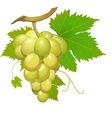 white grape vector image