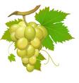 white grape vector image