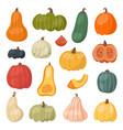 fresh pumpkin decorative seasonal ripe food vector image
