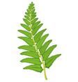 Fern leaf on white background vector image