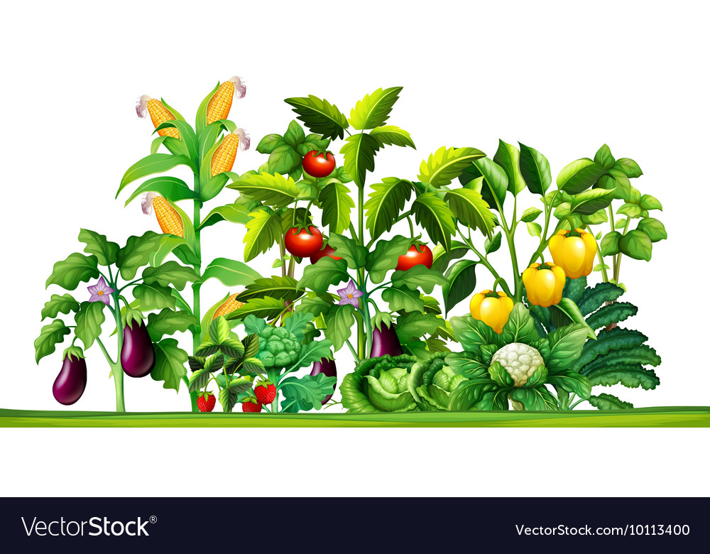 Fresh vegetable plants growing in the garden vector