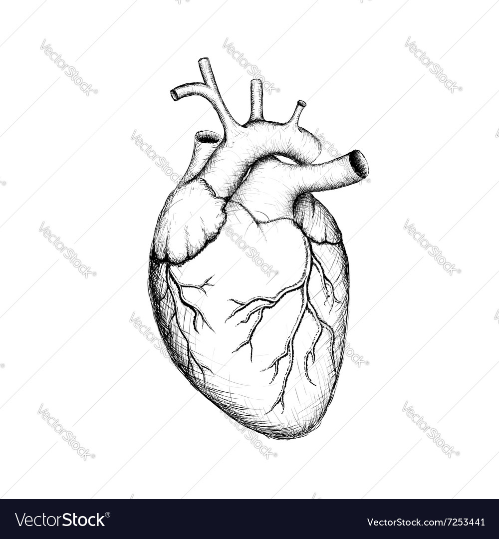 Human heart stock vector