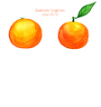 watercolor tangerines in side view vector image