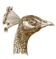 engraving peacock head vector image