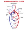 cardiovascular circulatory system vector image