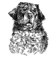 berne cattle dog hand drawing vector image