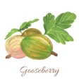 Hand drawn of Gooseberry vector image