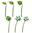 Cotton plant blossom photo-realistic in vector image