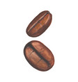 Two watercolor coffee beans vector image