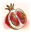Pomegranate watercolor painting vector image