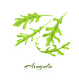 rucola or arugula herb vector image