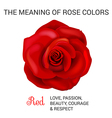 Red rose infographics vector image vector image