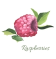 Hand drawn of Raspberry vector image