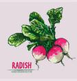 digital detailed line art radish vector image