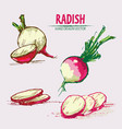 Digital detailed line art radish vector image