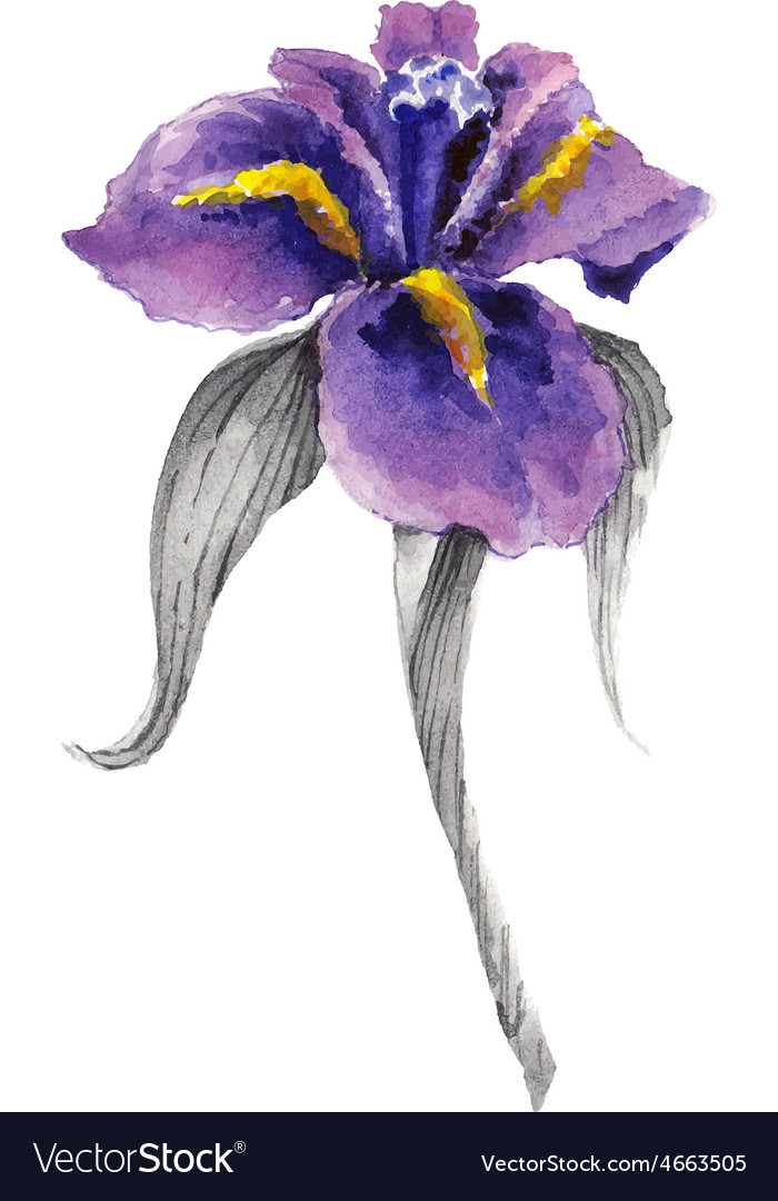 Violet watercolor iris flower vector