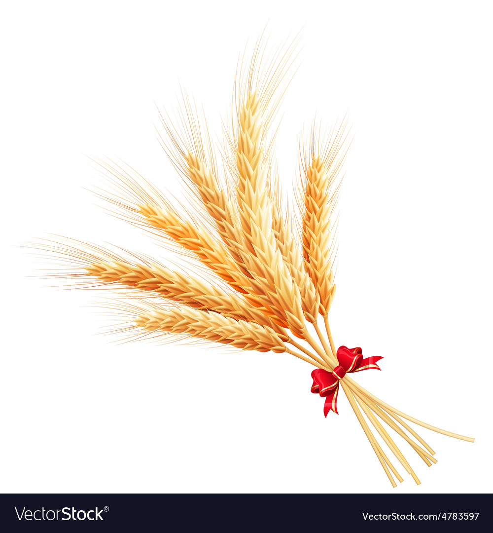 Bunch of wheat on white background eps 10 vector