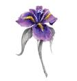 Violet watercolor iris flower vector image