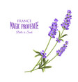 bunch of lavender flowers on a white vector image vector image