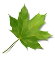 Green maple leaf isolated on white background vector image