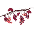 Vine with pink grapes vector image vector image