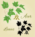 Acer-Maple green leaves summer theme vector image