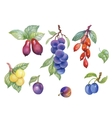 Watercolor berries plum and other fruit on white vector image
