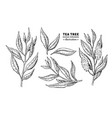 tea tree drawing isolated vintage vector image