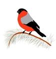Bullfinch on the fir branch Winter or christmas vector image