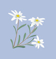 Edelweiss flowers and leaves vector image