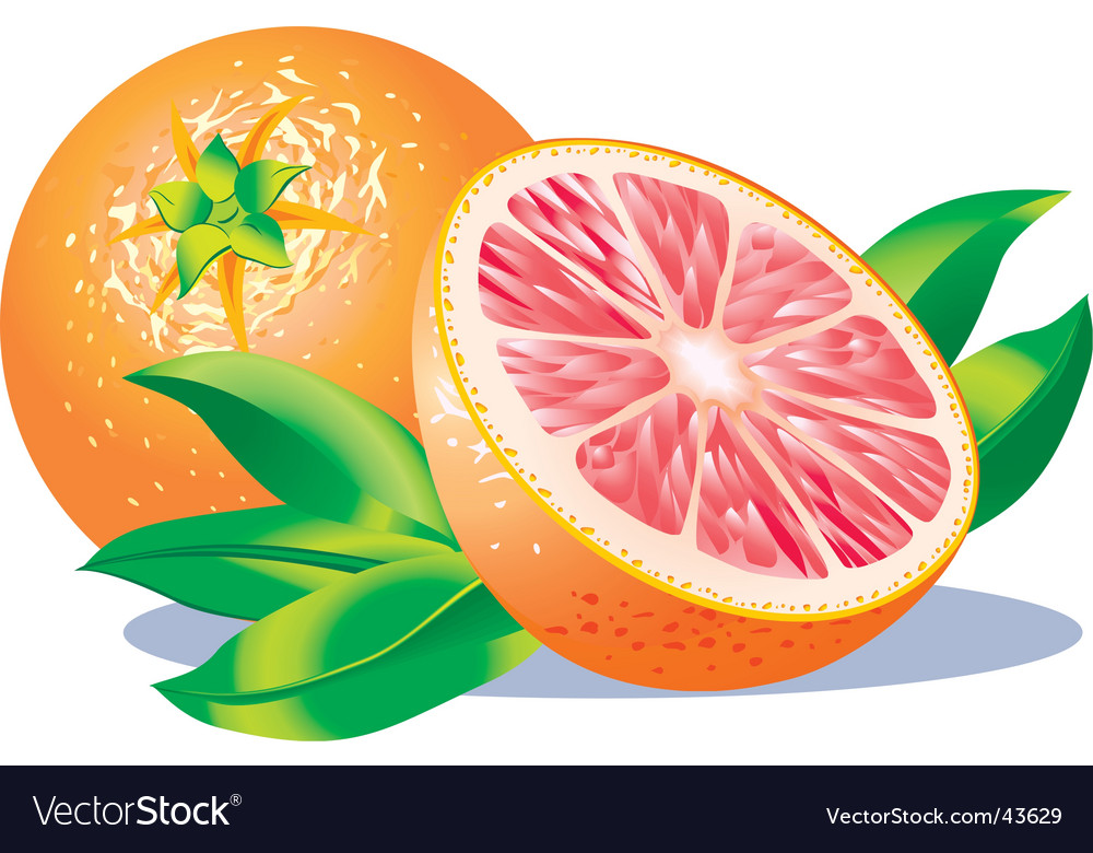 Grapefruits vector