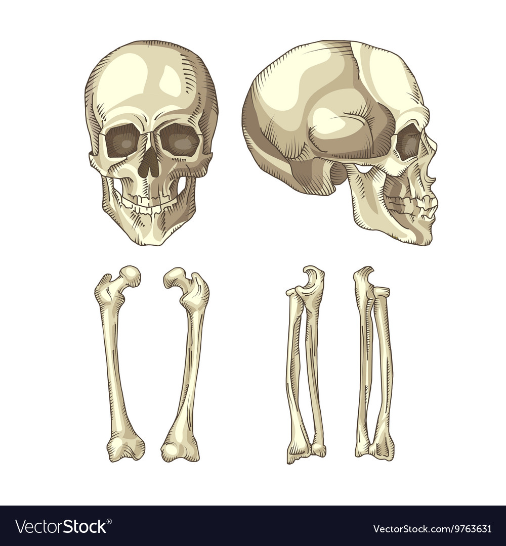 Medical of the human skull and bones vector