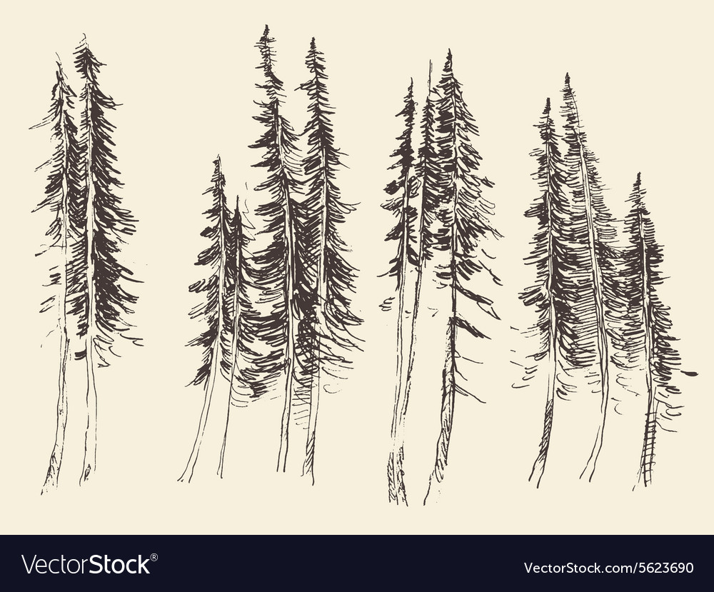 Fir forest engraving hand drawn sketch vector