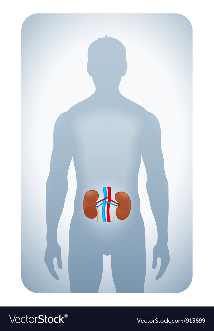 Kidneys highlighted vector