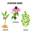 Turmeric with rhizomes bacopa aquatic plant vector image