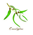 eucalyptus leaves and seeds vector image