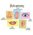 five senses vector image