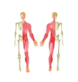 Human bony and muscular system Front and rear vector image